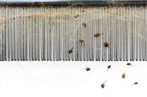 Flea Combing Works!
