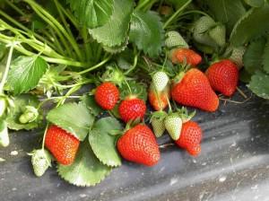 Pre-order Strawberries Sweet Charlie