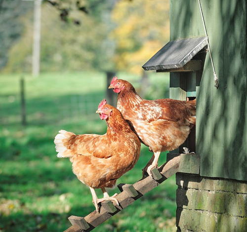 chicken coop raising hens roosters molting tips advice
