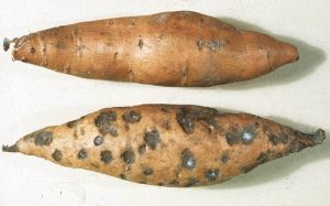 sweet potato potatoes weevil larvae organic pest control
