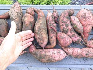 sweet potato plants potatoes natural gardening spring