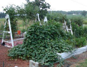 sweet potato potatoes garden organic trellis