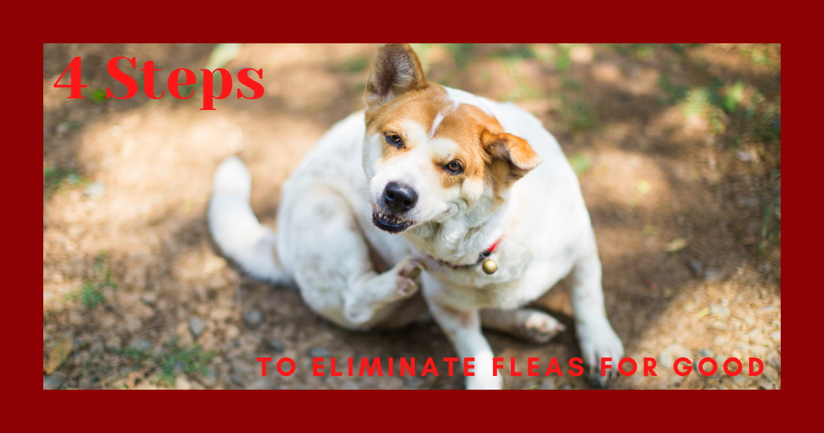 4 Steps to Eliminate Fleas for Good