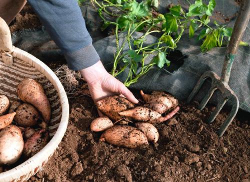 Hands holding sweet potatoes in the garden