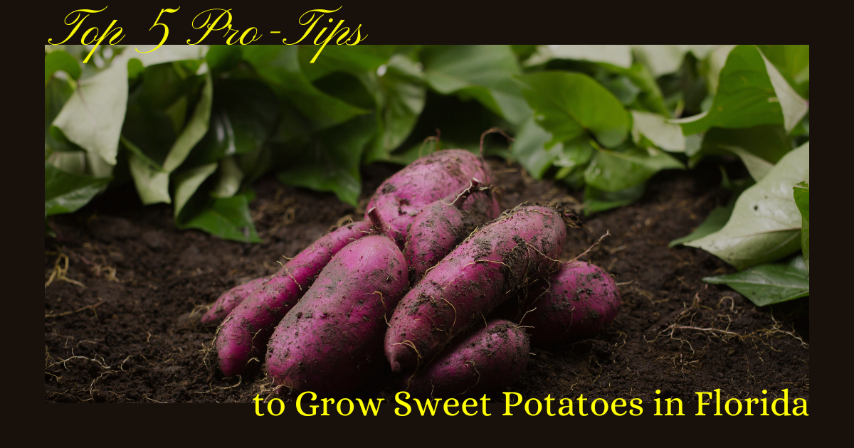 Top 5 Pro Tips To Grow Sweet Potatoes In Florida Shell S Feed Garden Supply