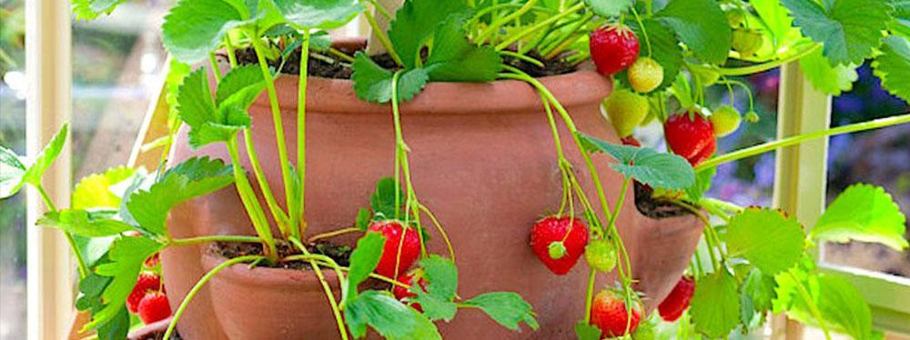 Growing Florida Strawberries In