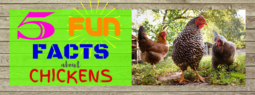 5 Fun Facts About Chickens