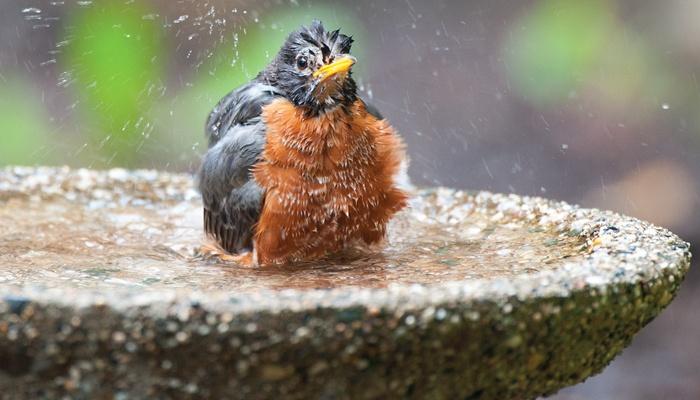 wild birds bird bath