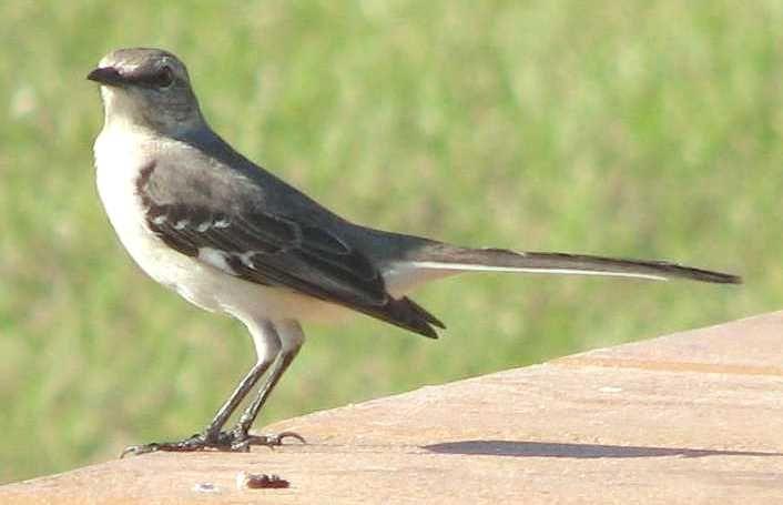 wild birds mockingbird florida state bird