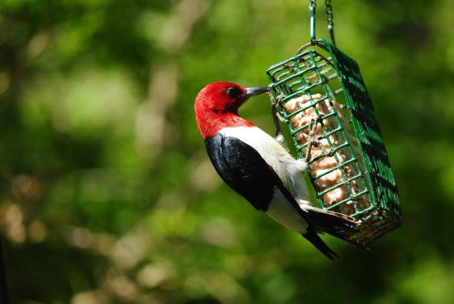 wild birds suet cage woodpecker