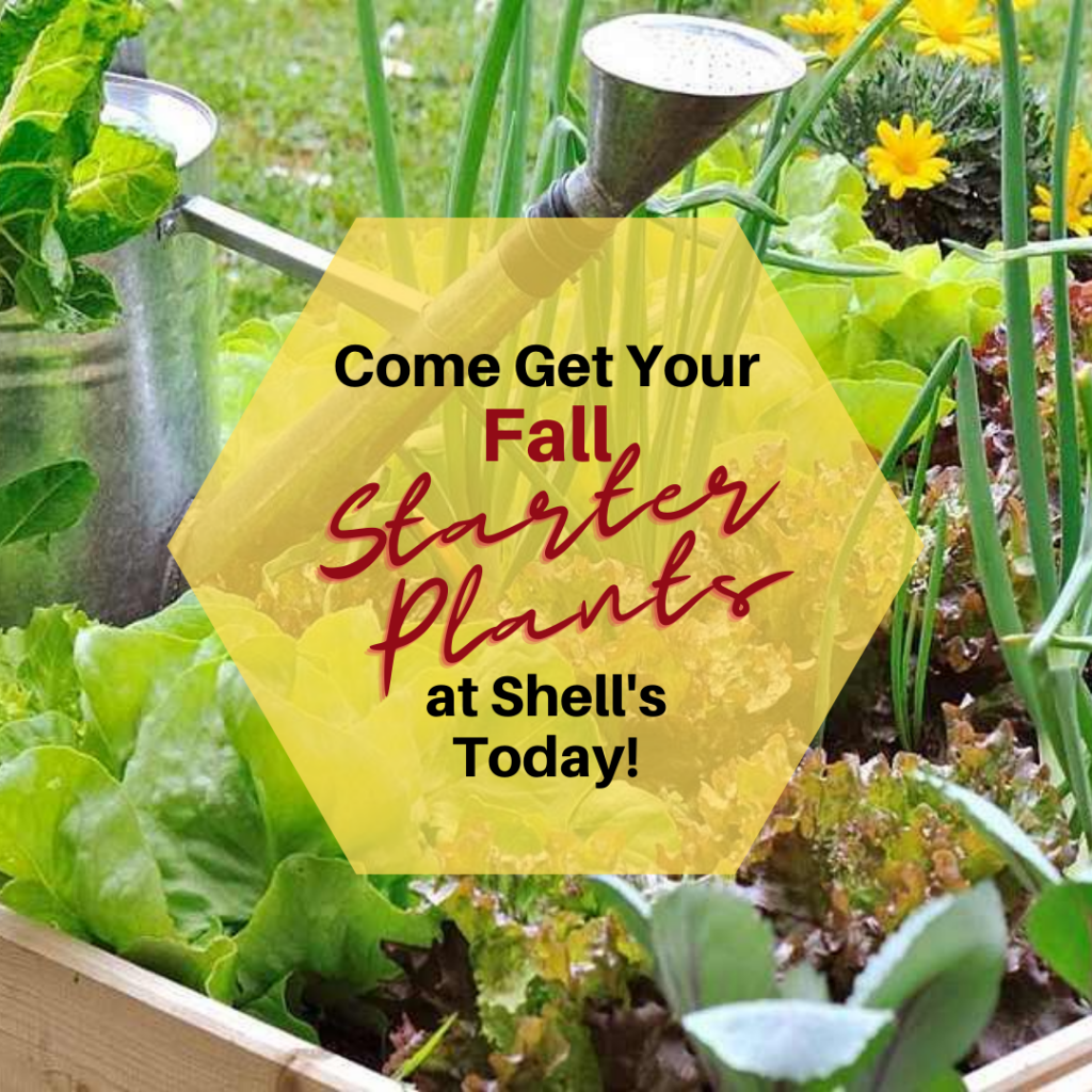 fall starter plants at Shell's Feed & Garden Supply