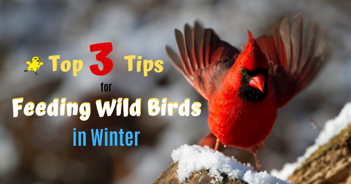 Top 3 Tips For Feeding Wild Birds in Winter