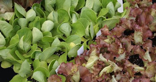 Several loose leaf lettuces growing in trays ready to plant