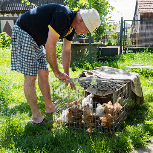Man brings caged chickens to his backyard for some free-ranging time