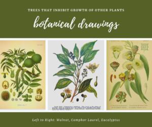 camphor walnut eucalyptus botanical drawings