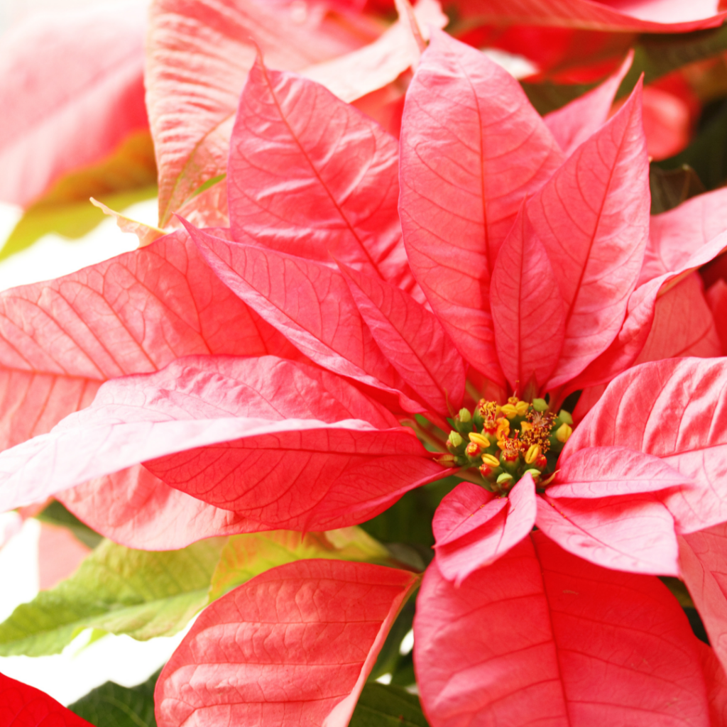 Poinsettias come in all kinds of colors, and are sometimes even painted!