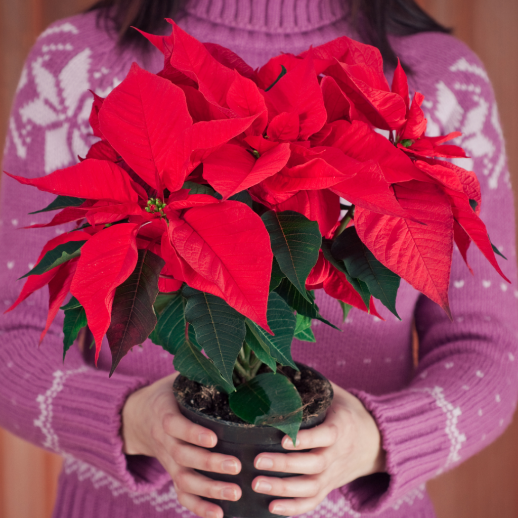 With a little care your Poinsettia will show off its colorful bracts and small yellow blooms for many weeks!