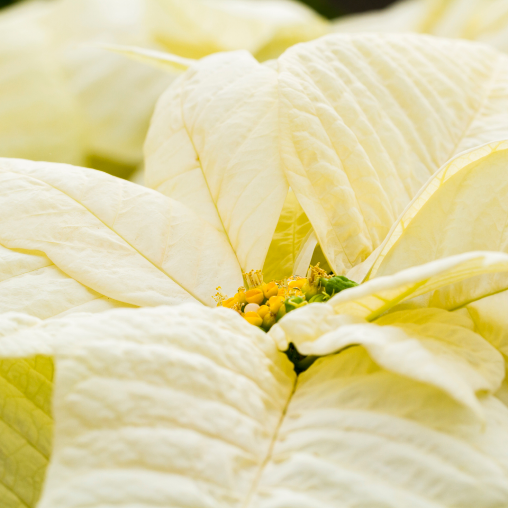 Closeup of a white poinsettia showing the 'modified leaves' or colorful bracts and the small yellow flowers in the center.