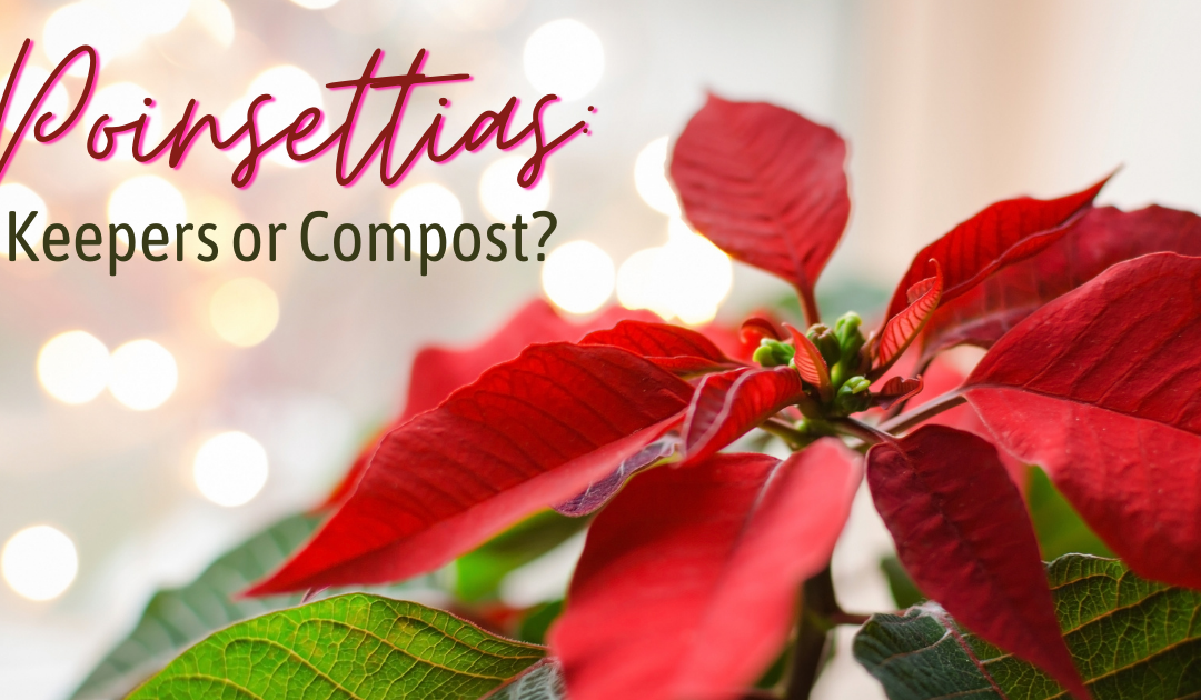 Poinsettias: Keepers? Or Compost?