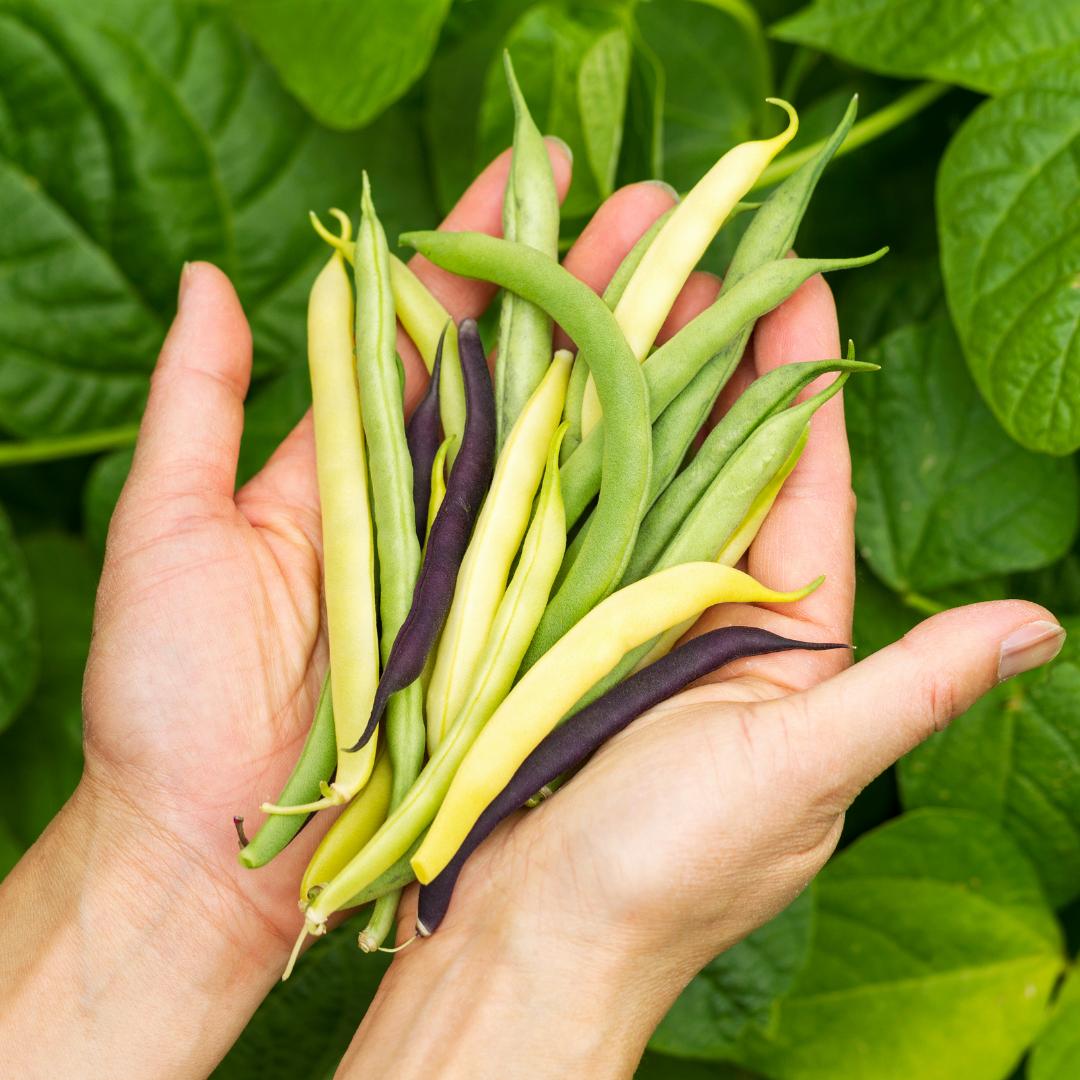 Beans Florida Summer Garden