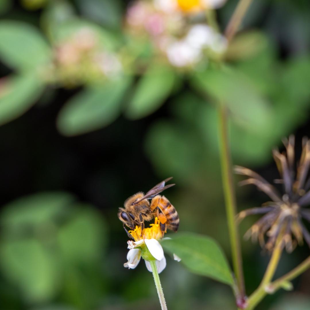 Bee on Spanish Needle flower