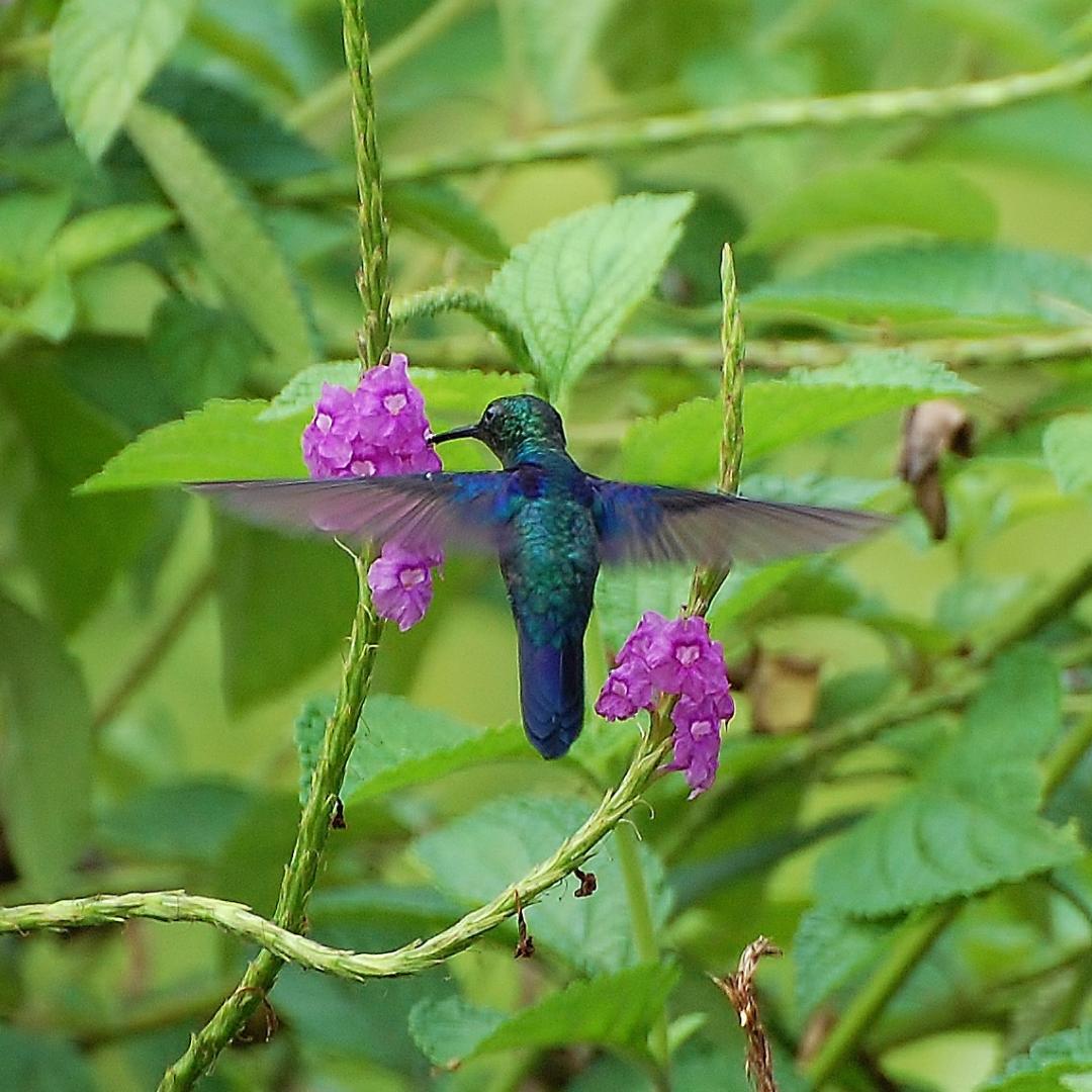 Friendly Florida Wildflower Blue Porterweed