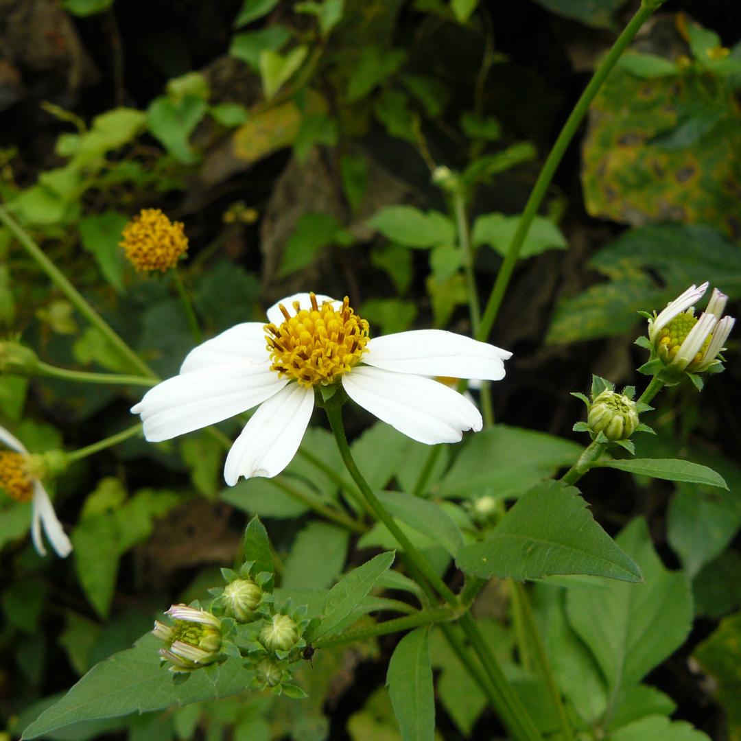 Spanish Needle - Friendly Florida Wildflower