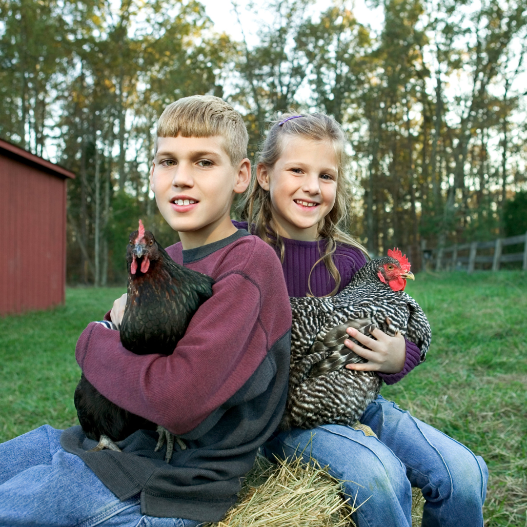 Chickens provide hours of fun for the whole family