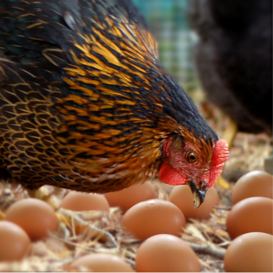 Picture showing a hen and eggs