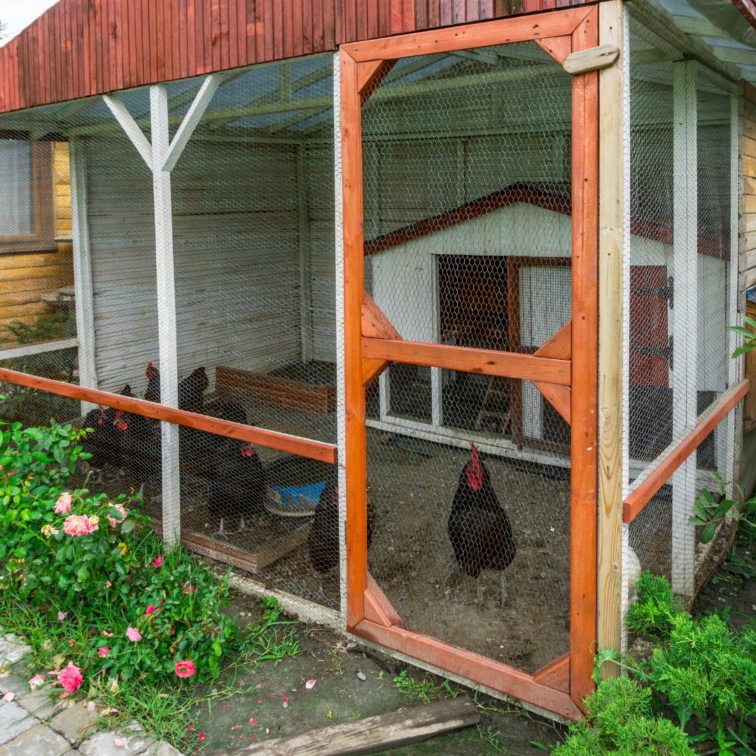 A backyard chicken coop