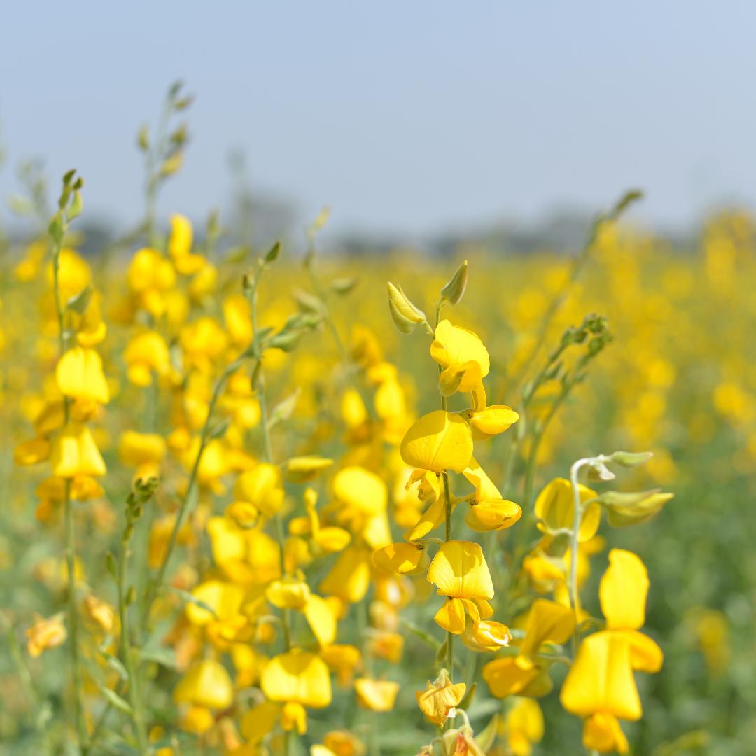 Sunn Hemp growing in a field