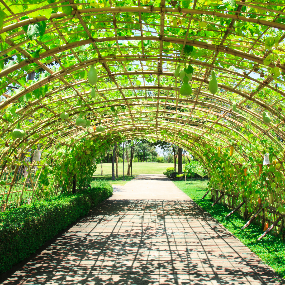 Grow tunnel with gourd vines
