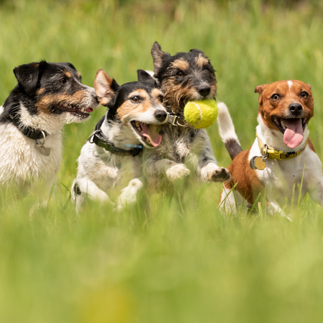 Keep watch over your dogs as they play in the sun and look for signs of heat stroke