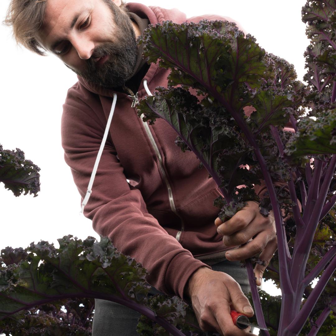 Taking Cuttings Of Kale