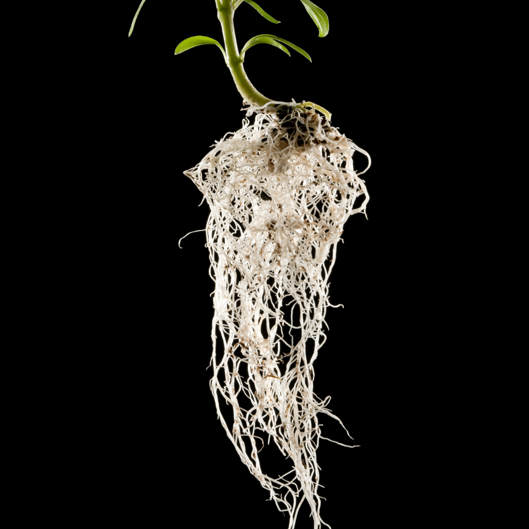 Water Rooted Cutting