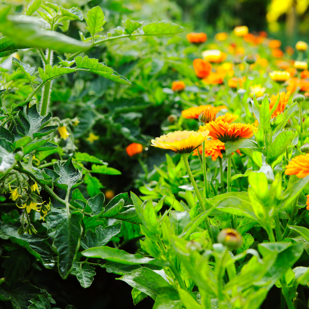 Companion Planting with tomatoes